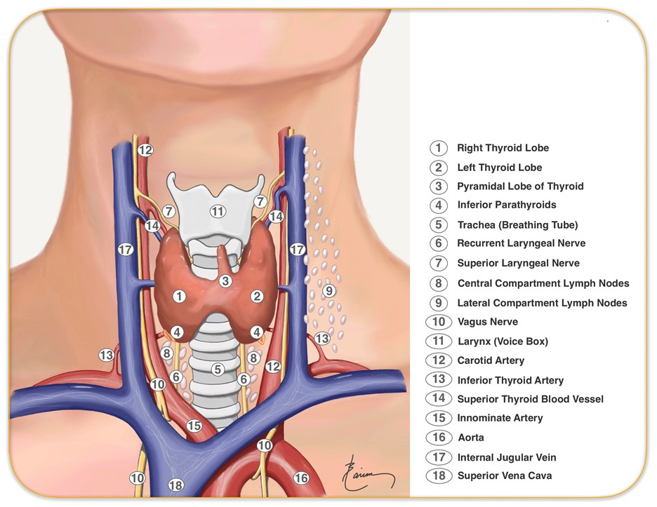 Anatomy of Throat and Neck